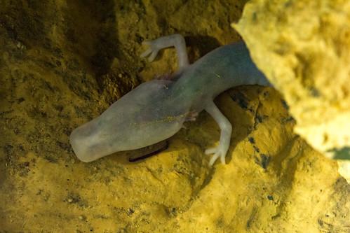Ci sono circa duecento specie animali nelle grotte della Slovenia, ma nessuna è così enigmatica o evoca tale fascino, come il Proteus anguinus, il pesce umano.